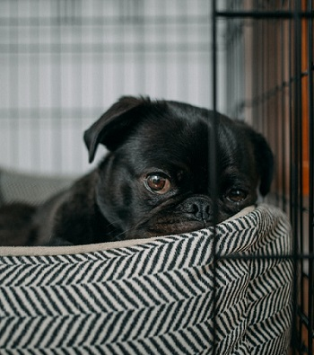 Dog Relaxing in crate