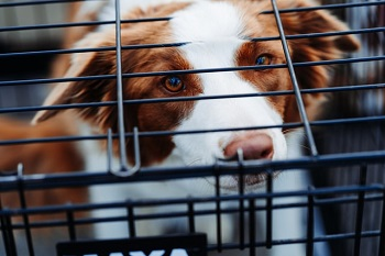Unhappy Dog in Crate